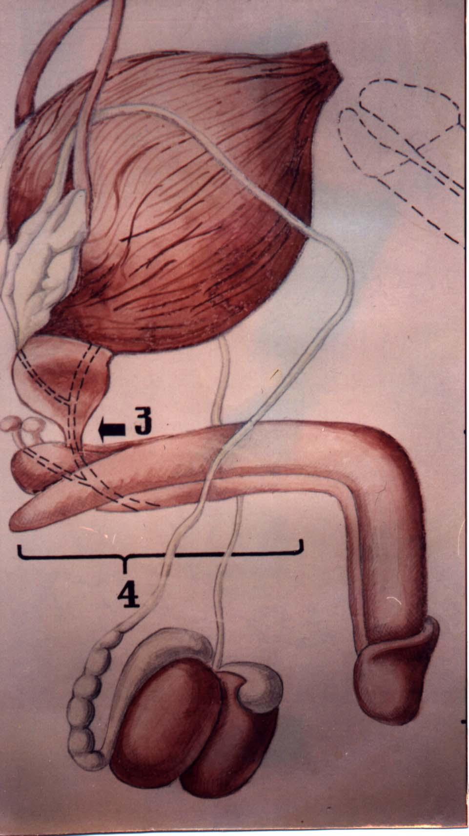 Расположение женского полового органа фото 4 фотография